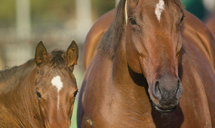 Gestation periods & breeding mares