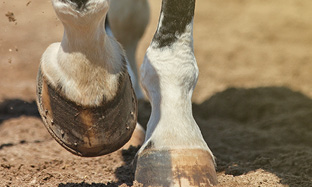 Laminitis - prevention is better than cure